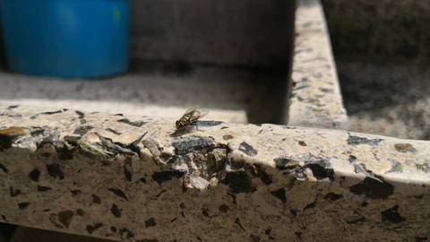 Fly perched on an old stone wash while wiping its wings and body Live Action