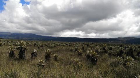 Frailejones, Espeletia, in Purace paramo in Colombia. Endemic endangered plants Live Action