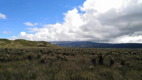 Purace National Park in Colombia. Paramo ecosystem. Frailejon, Espeletia plants Footage