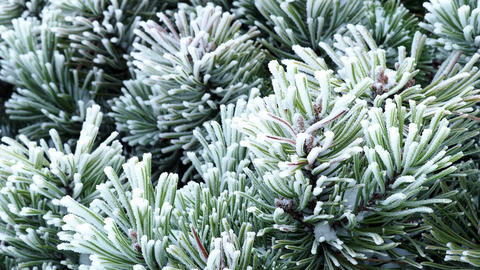 Pine branch with long needles in the frost. Christmas tree with pine cones, snow Footage