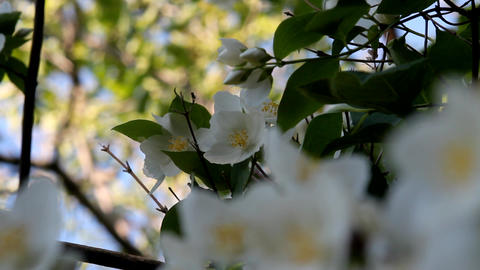 Beautiful white blossoms on a bright blue sky spring day Footage