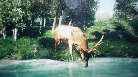Beautiful Sunny spring forest and a deer that drinks water from the stream Animation