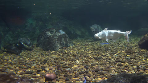 Big fishes floating near large stones in the deep Footage