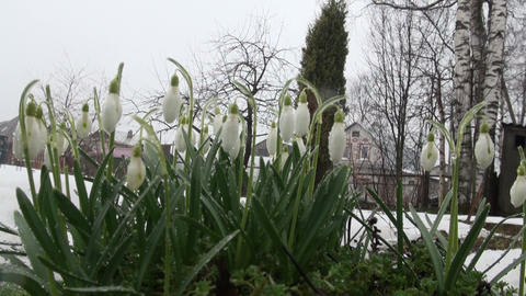 Snowdrops on the meadow Stock Video Footage