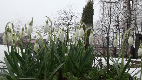 Snowdrops on the meadow Footage