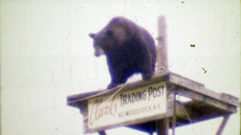 1964: Clark's Trading Post black bear performer waiting to walk tightrope Footage