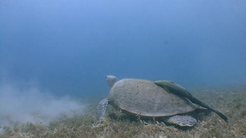 Large green turtle grazing on the seabed Footage