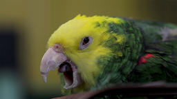 Yawning bird close up. Sleepy and exhausted animal ready for bed. Tired bird ビデオ