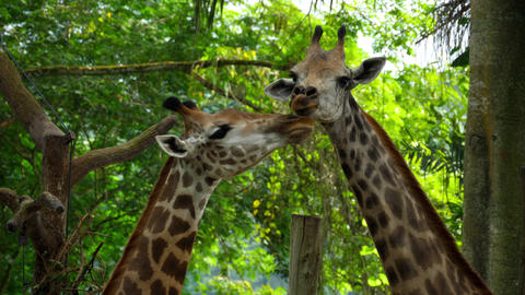 Two Giraffes in savannah Live Action