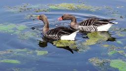 Two geese between algae flasks ビデオ