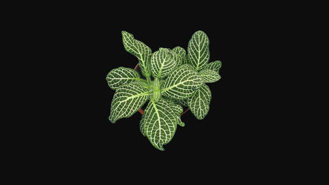 Time-lapse of growing fittonia flower with ALPHA channel, top view Footage