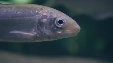 Close up fish swimming underwater in aquarium. Ichthyology, diving, snorkeling Live Action