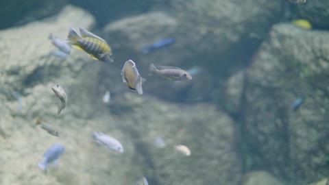 Fish swimming in decorative undersea world in oceanarium. Wild fish in aquarium Live Action