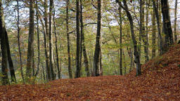 Autumn. Autumnal leaves in the forest. Static shot Footage