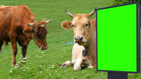 Billboard green screen on the background of cows on a green meadow Footage