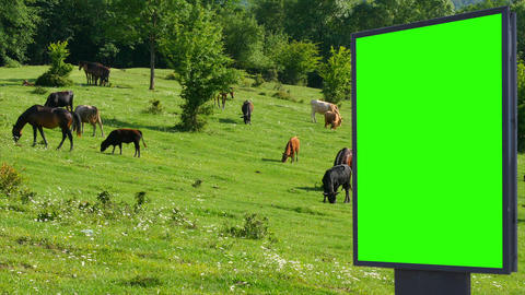 Billboard green screen on the background of horses on green meadow Footage