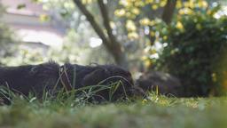 German Wire-haired Pointer Dog Resting in Garden ビデオ