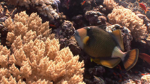 Diving in the Red sea near Egypt. Titan trigger fish Footage