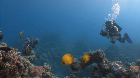 Underwater videographer, filming a couple of lemon butterfly fish Live Action