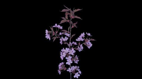 Time-lapse of blooming pink sakura branch in RGB + ALPHA matte format Footage