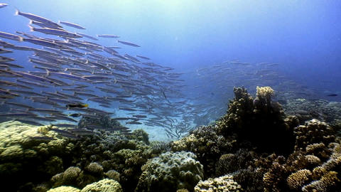 Diving in the Red sea near Egypt. Huge shools of barracuda Live Action