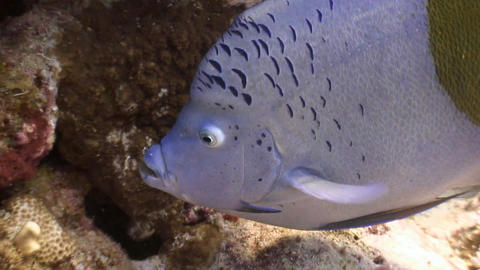 Diving in the Red sea near Egypt. Arabian angel fish Footage