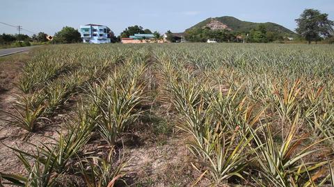 Pineapple Fields in Bulgaria Footage