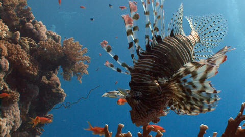 Lionfish, gracefully floating over a coral reef Live Action