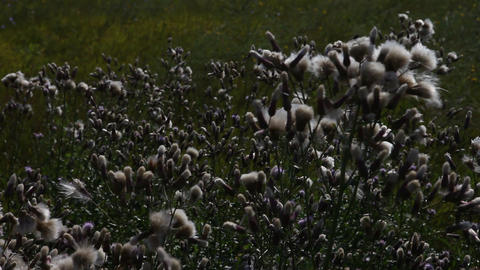 Cotton Field land in Bulgaria Footage