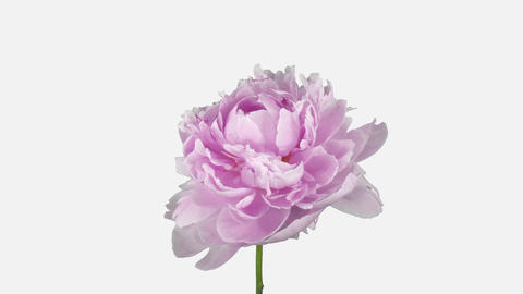 Time-lapse of dying pink Peony flower, 4K with ALPHA channel GIF