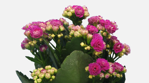 Time-lapse of opening pink kalanchoe flower with ALPHA channel GIF