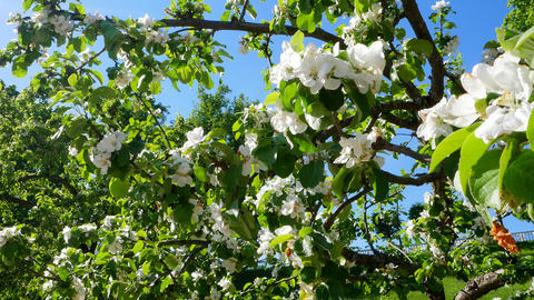 Apple trees in bloom on a Sunny day Footage