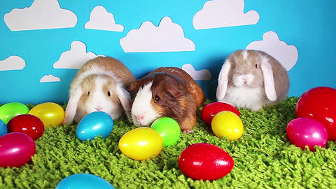 Easter animals animal guinea pig rabbits animals together Footage