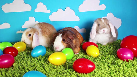 Easter animals animal guinea pig rabbits animals together, Live Action