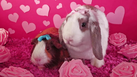 Valentine s day cute animals animal pets pet, lop rabbit guinea pig Live Action
