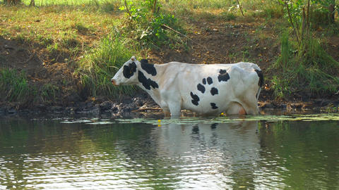 Cows stand in the water on a hot day Footage