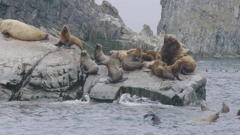 Flock of sea lions sitting on rocky island and swimming in ocean water ビデオ