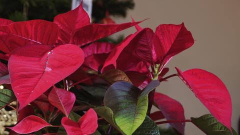 Poinsettia Christmas blossomed plant with top bright red petals before lit ビデオ