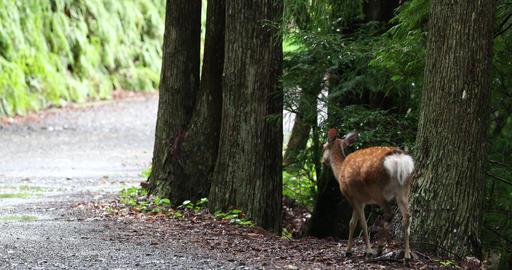 Japanese deer walking the dirt road Footage