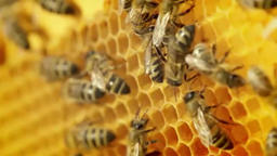 Close-up view of bees on honeycomb slow motion Footage