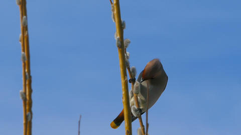 Waxwing sitting on pussy willow branch Footage