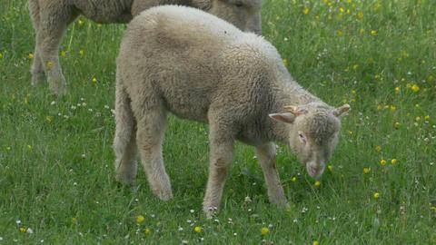 Lamb Grazing Fresh Grass Footage