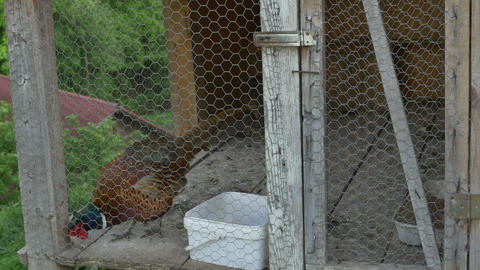 Pheasant in Cage Footage