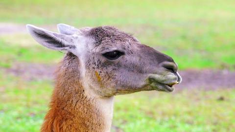 Cute Llama Chewing Footage