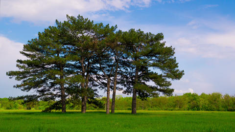 Green Meadow with Six Pines Footage