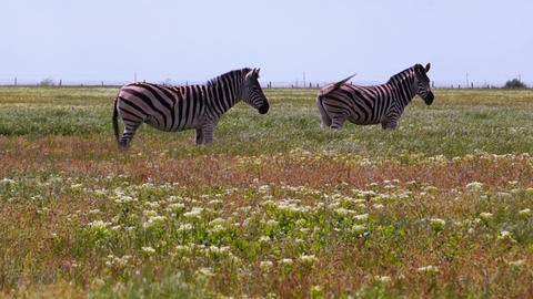 Zebras Grazing on a Hot Day Live Action