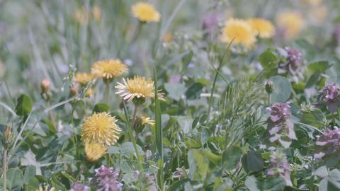 Dandelion Flowers,at Showa Memorial Park,Tokyo,Japan,Filmed in 4K Footage