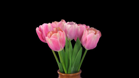 Time-lapse of opening pink tulips bouquet, 4K with ALPHA channel Footage