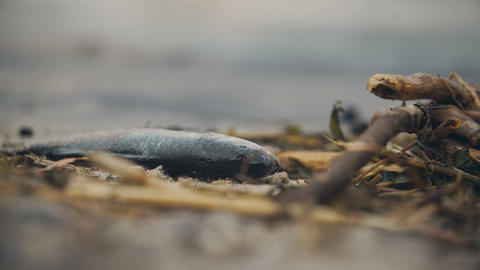 Closeup of dead fish on the seashore, global environmental problems of pollution Live Action