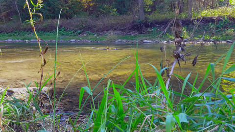 Leaves Fall as Fish Swimming and Playing in River. Fish Swim Upstream in North Footage